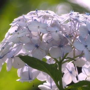 *紫陽花* 夏至前日の権現堂公園