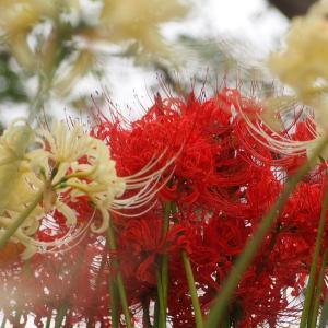 権現堂の彼岸花 「赤と白 どちらが好きですか?」