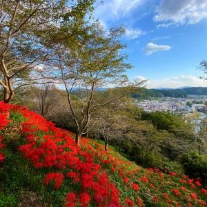 茂木 城山公園の彼岸花 「絶景 待ってます!」