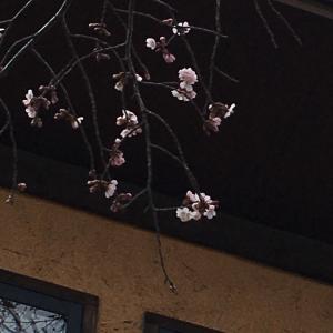 ん…あら…?忘れてました…桜咲く。。。