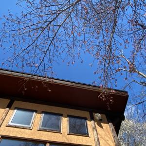 春ウララ、ランタンな桜、開花報告とウッドペッカ~。。。