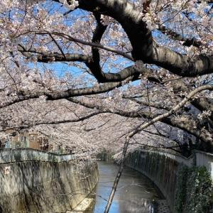 桜満開〜♪