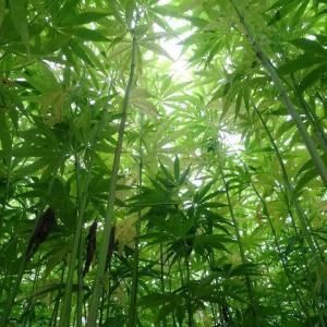 大麻で健康に