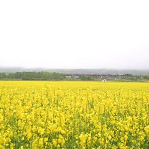 曇天の菜の花畑に貨物列車