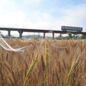 小麦畑は蜘蛛の巣いっぱい