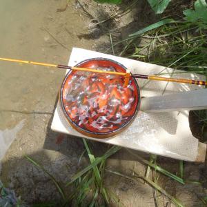 県内の川でタナゴ釣り