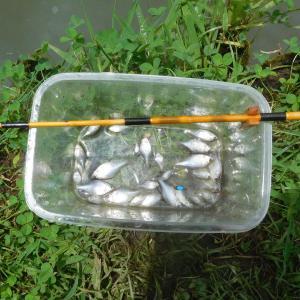 ホーム池でタナゴ釣り