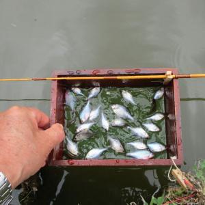 手返しのタナゴ釣り