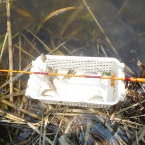 暑さの中のタナゴ釣り