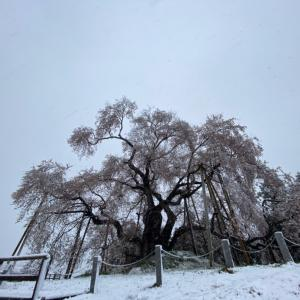 季節はずれの雪〜戸津辺(とつべ)の桜