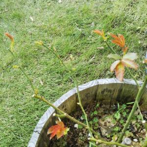 (薔薇)芽が出てきました