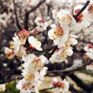 咲き誇れ梅の花
