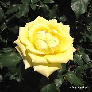 千葉県の京成バラ園のバラは見事です!!!
