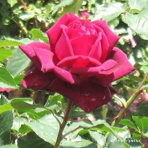京成バラ園のバラの花の色から見るあなたの叶えたい願いとは?