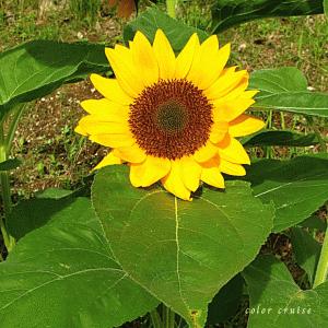 ひまわりの輝く黄金色にある花言葉は、一途な愛♡