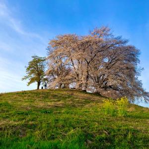 グンマーの聖火リレーと古墳の桜♪