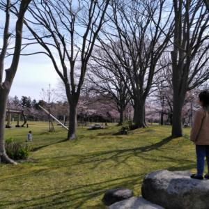 赤坂山の桜