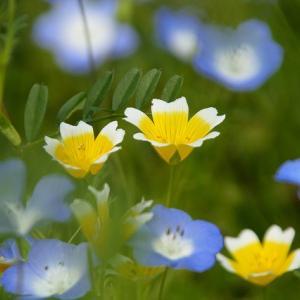 🥚たまご色の花