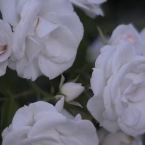 Rosa Iceberg California