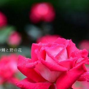 思い出のバラ