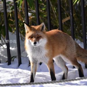 キタキツネ(北狐)