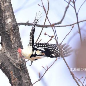エゾアカゲラ(蝦夷赤啄木鳥)