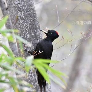 クマゲラ(熊啄木鳥)②