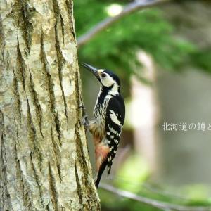 オオアカゲラ(大赤啄木鳥)