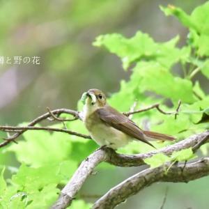 キビタキ(黄鶲)②
