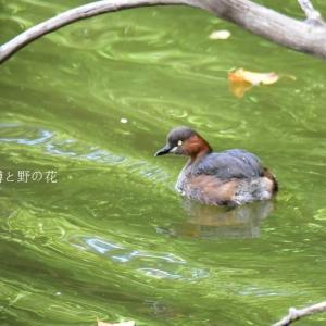カイツブリ(鳰・鳰鳥・鸊𪂬)