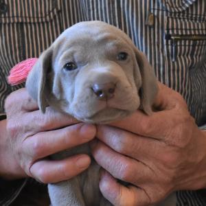 ワイマラナー子犬 Blue eyes