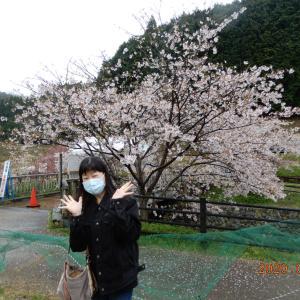 又兵衛桜を見に行ってきたよ~