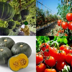 【食育クイズ:Vol.263】「かぼちゃ」と「トマト」!生産量日本一はどこ?