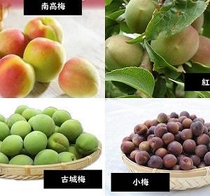 【食育クイズ:Vol.676】「みなべ町、田辺市」の特産品「紀州梅」の生産量日本一を誇る品種とは