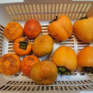 柿の収穫をしましたPart2!