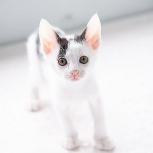 白黒子猫 おと君 里親様募集♡