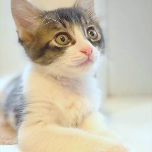 黒白子猫 ルフィ君 里親様募集