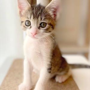 キジ白子猫 ナミちゃん 里親様募集