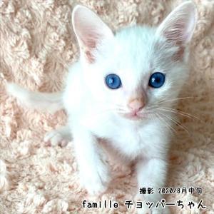 白子猫 チョッパーちゃん 里親様募集