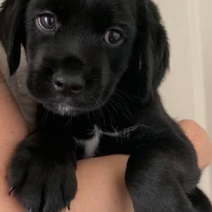 2ヶ月の子犬 アメコカ×ウエスティMIX のセージ君 里親様募集☆