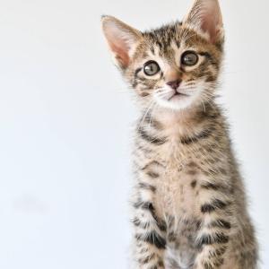 キジトラ子猫 ミラノくん 里親様募集中♡