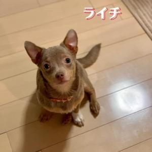6ヶ月の子犬 ポメラニアン×チワワMix ライチちゃん里親様募集☆
