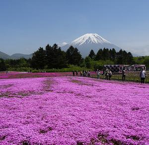 富士芝桜まつり・・・・・・♪