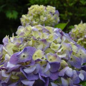 色づき始めの紫陽花