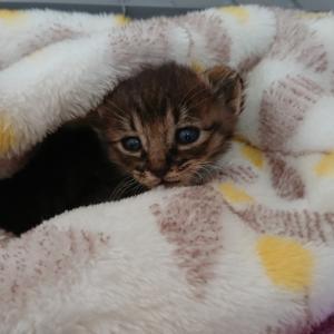 【離乳期の子猫一匹緊急保護しました!】