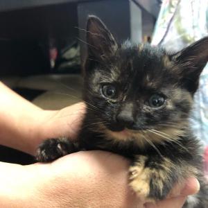 【11/11保護された子猫の名前決まりました!シフォンちゃんです!】