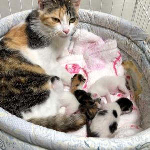 【 明日香ちゃん出産しました!第二次預かりホストK様より!里親募集中】