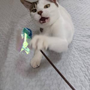 【 FIP(猫腹膜炎)の一番くんを助けたい!】