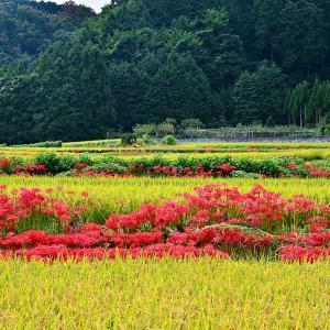 人の側に、生活の側で、静かに咲いてきた赤色の花達。今年も