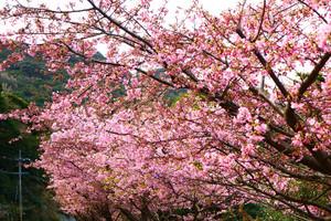 河津桜パート2、、、笑